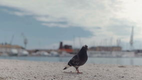 Dove walking on the street next to the sea stock footage