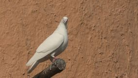 Dove on a wall background. Close up on a white dove on a wall background in Doha, Qatar. Middle East, Arabian Peninsula stock video footage