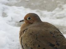 Lovely Dove with light grayish brown feathers stock image