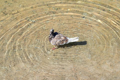 The dove in the water Stock Photo