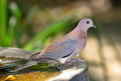 Dove at watering place Stock Image