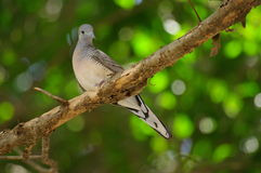 Dove. On a white background The integrity of the natural Royalty Free Stock Images