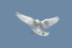 Dove. White dove in the blue sky background Stock Images