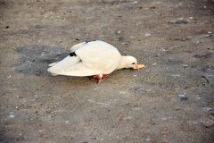 Dove - white, eating food on the floor. Her legs are crippled, she is eating food on the ground very tasty, she does not care about anyone Royalty Free Stock Images