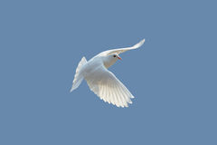 Dove. White dove flying on clear blue sky Stock Photo