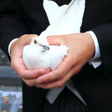 Dove. White dove waiting to be released by a bride groom in Amsterdam the Netherlands, after the wedding ceremony Stock Images