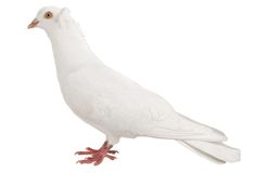 Dove Stock Photo