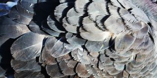 Dove wing, close-up. Dove wing, the  symbol of the holy spirit. Close-up Stock Photo