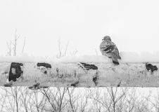 Dove in the winter Stock Images