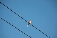 Dove is on wire. Dove is a ture love and bird family. Royalty Free Stock Photos