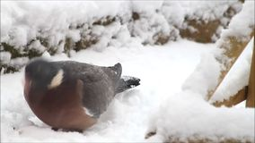 Dove wood pigeon feeding bird food in snow stock video footage