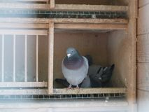 Dovecote with 3 pigeons Stock Image