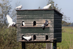 Dovecote and pigeons in love Royalty Free Stock Photo