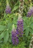 Dovedale-Park, Höchstbezirk, England - Blumen in den Wiesen lizenzfreies stockfoto