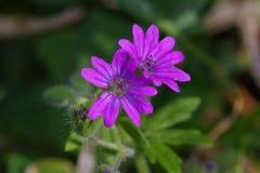 Dovefoot Geranium Stock Photo