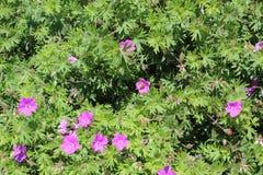 Dovefootgeranium royalty-vrije stock fotografie