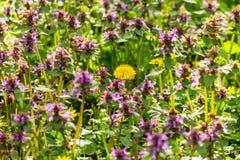Dovenetels en paardebloembloemen in de lente Stock Fotografie
