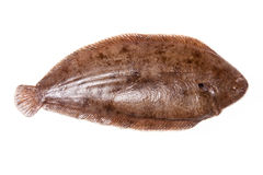 Dover sole fish whole Royalty Free Stock Image