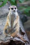 Dovere in guardia del meerkat sveglio Immagini Stock Libere da Diritti