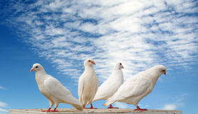 Doves. Four white doves against blue cloudy sky royalty free stock images