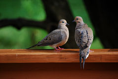 Doves. Pair of mourning doves posing during courtship performance stock image