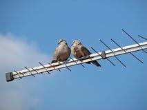 Doves Stock Photos