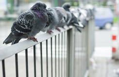 Doves Royalty Free Stock Photos