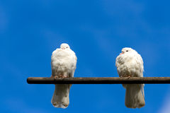 Doves. Two sitting white doves and blue sky background Stock Image