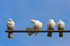 Doves. Four sitting white doves and blue sky background Stock Photo