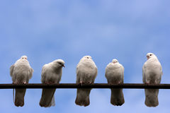 Doves. Five sitting white doves and blue sky background Stock Image