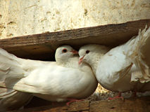 Doves. Lovely doves Royalty Free Stock Photography
