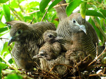 Doves and babies Stock Image