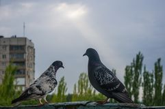Doves on the background of the urban landscape Stock Image