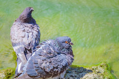 Doves bathing in the lake. Two pigeons bathe in clear water near the shore of the lake Royalty Free Stock Photography