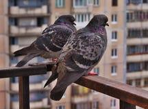 Doves Stock Image