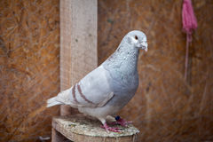 Doves. Beauty contests birds in their cage environment stock photography