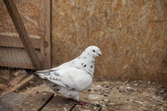 Doves. Beauty contests birds in their cage environment stock photo