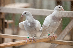 Doves. Beauty contests birds in their cage environment stock photos