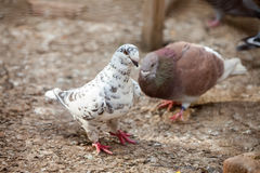 Doves. Beauty contests birds in their cage environment royalty free stock photo