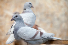 Doves. Beauty contests birds in their cage environment royalty free stock image
