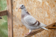 Doves. Beauty contests birds in their cage environment stock images