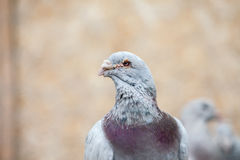 Doves. Beauty contests birds in their cage environment stock image