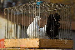 Doves in a bird cage Stock Photography