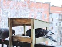 Doves in bird feeder Royalty Free Stock Image