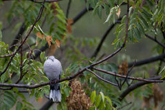 Doves on a branch Stock Photography