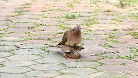 Doves breeding on the floor. Dove breeding on the floor, chiangmai Thailand stock video footage