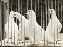 Doves in cage Royalty Free Stock Photography