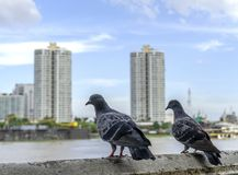 Doves in the city and on background of city.  royalty free stock photos
