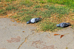 Doves in a city park Royalty Free Stock Image