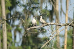 Doves Conversing on Branch Detail Stock Images